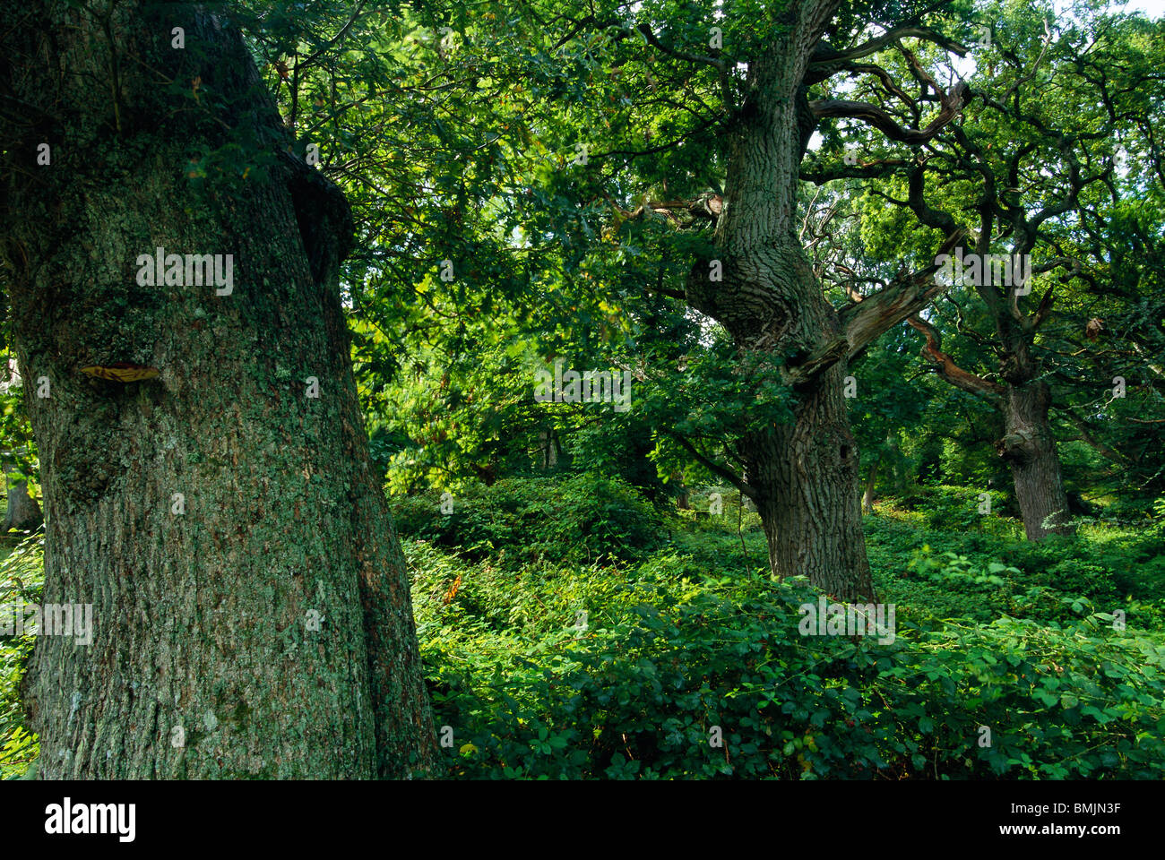 Forest of oak trees - Stock Image