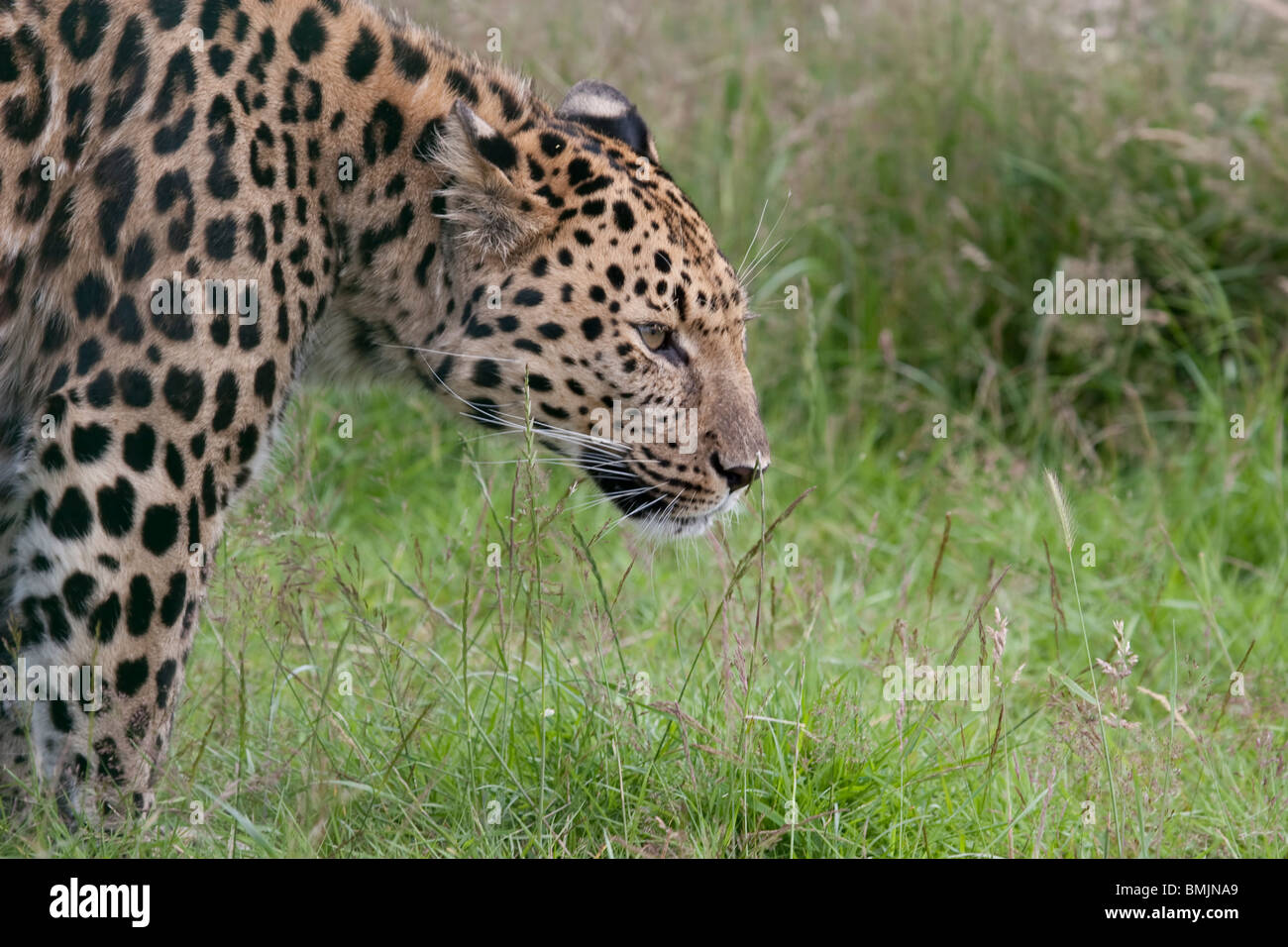 Leopard - grass background - Stock Image