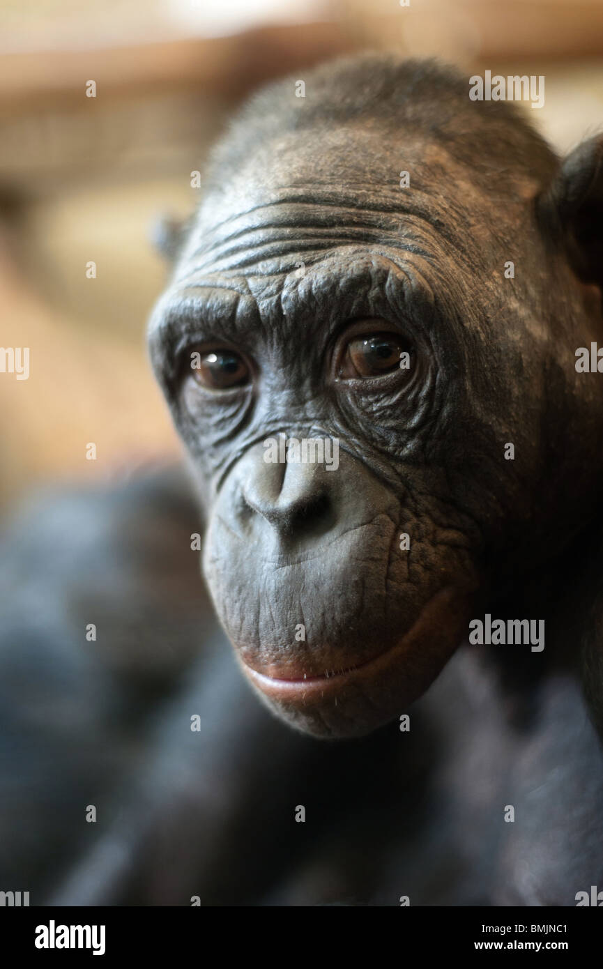 Portrait of a Bonobo monkey (Pan paniscus) - Stock Image