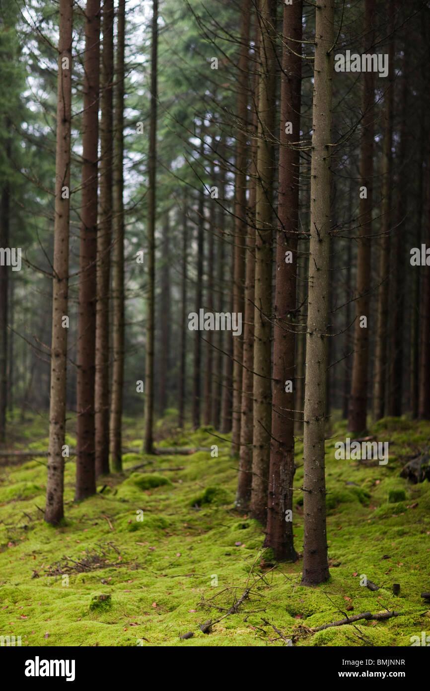 Scandinavian Peninsula, Sweden, Skane, View coniferous trees in forest - Stock Image
