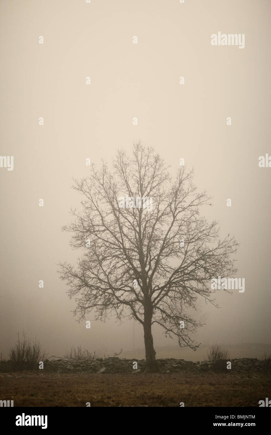 Scandinavian Peninsula, Sweden, Skane, View of bare tree in fog - Stock Image