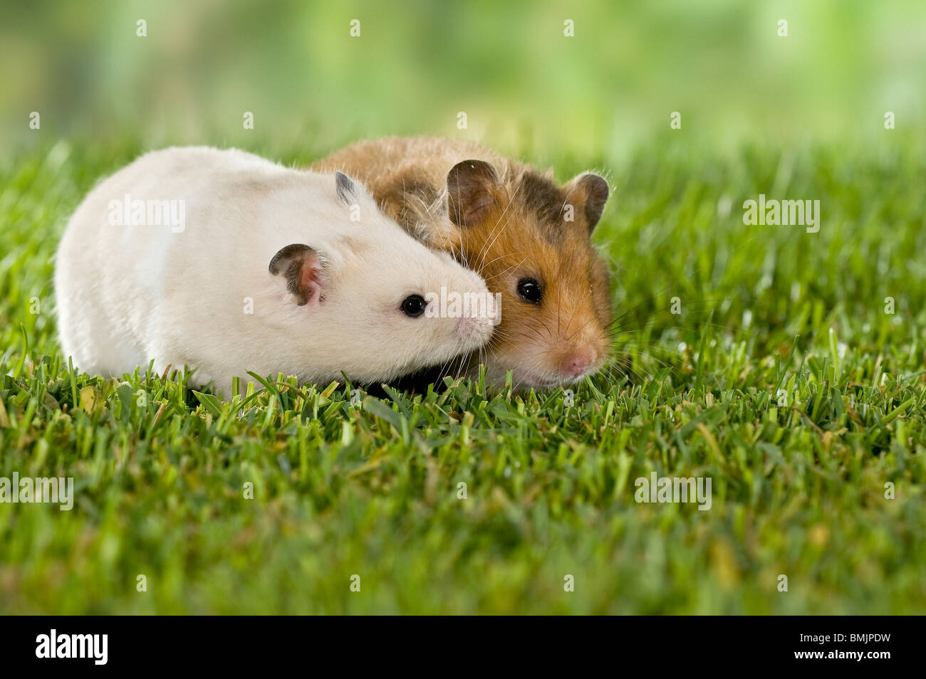courtship : two Golden Hamsters (left: male , right: female) - Stock Image