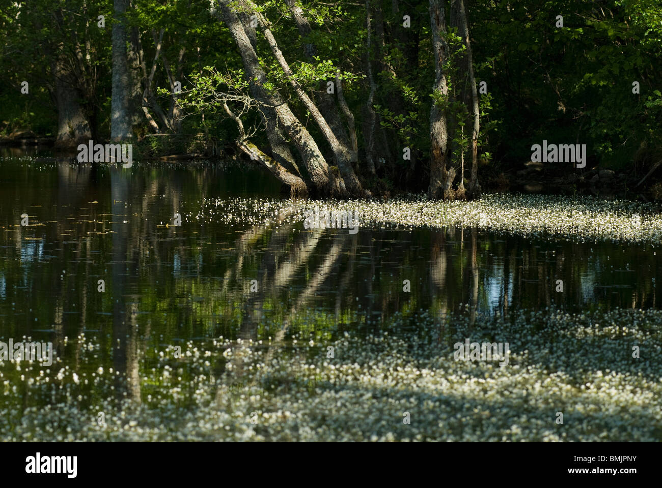 Scandinavia, Sweden, Oland, Flower floating on swamp, trees in background - Stock Image