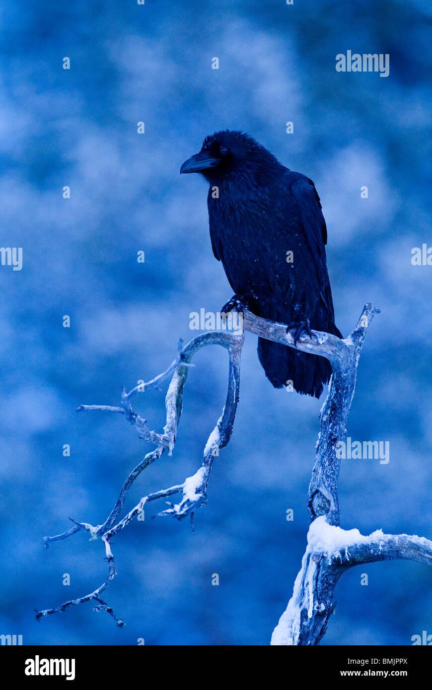 Scandinavia, Sweden, Vasterbotten, Raven crow perching on tree, close-up - Stock Image