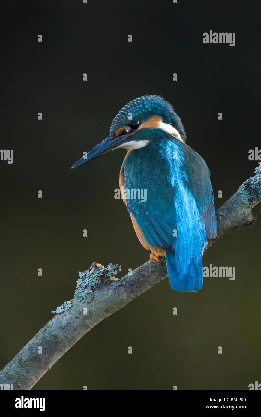 Scandinavia, Sweden, Smaland, Kingfisher bird perching on branch, close-up - Stock Image