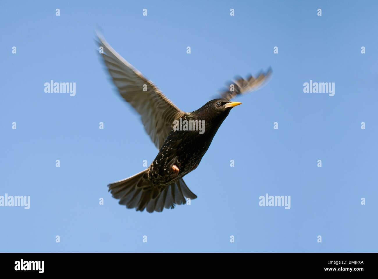 Scandinavia, Sweden, Oland, Starling bird flying in sky - Stock Image