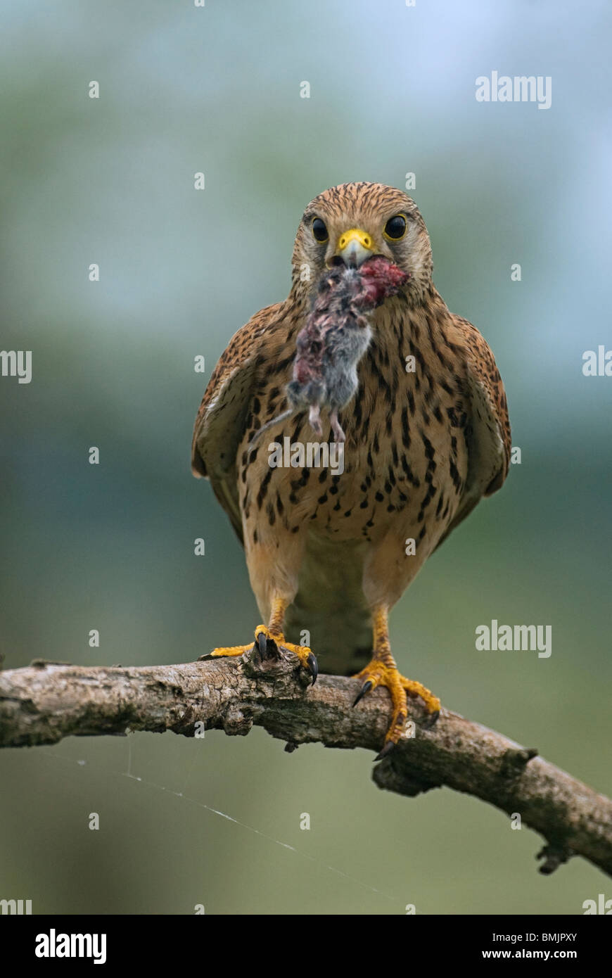 Europe, Hungary, Kestrel holding mousein mouth, close-up Stock Photo