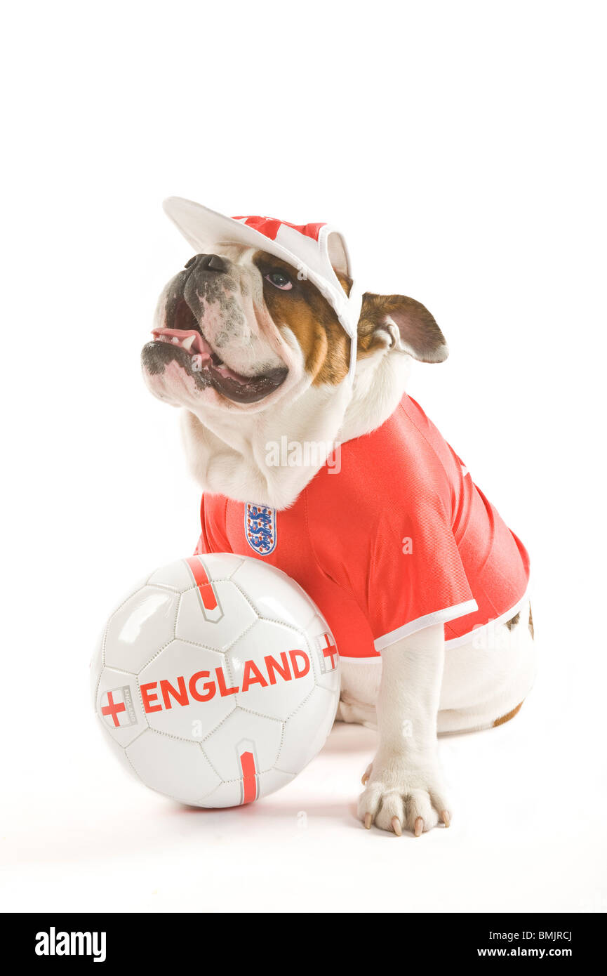 A British Bulldog with a football while wearing an England team football  shirt and cap against a white background. 8173169fa