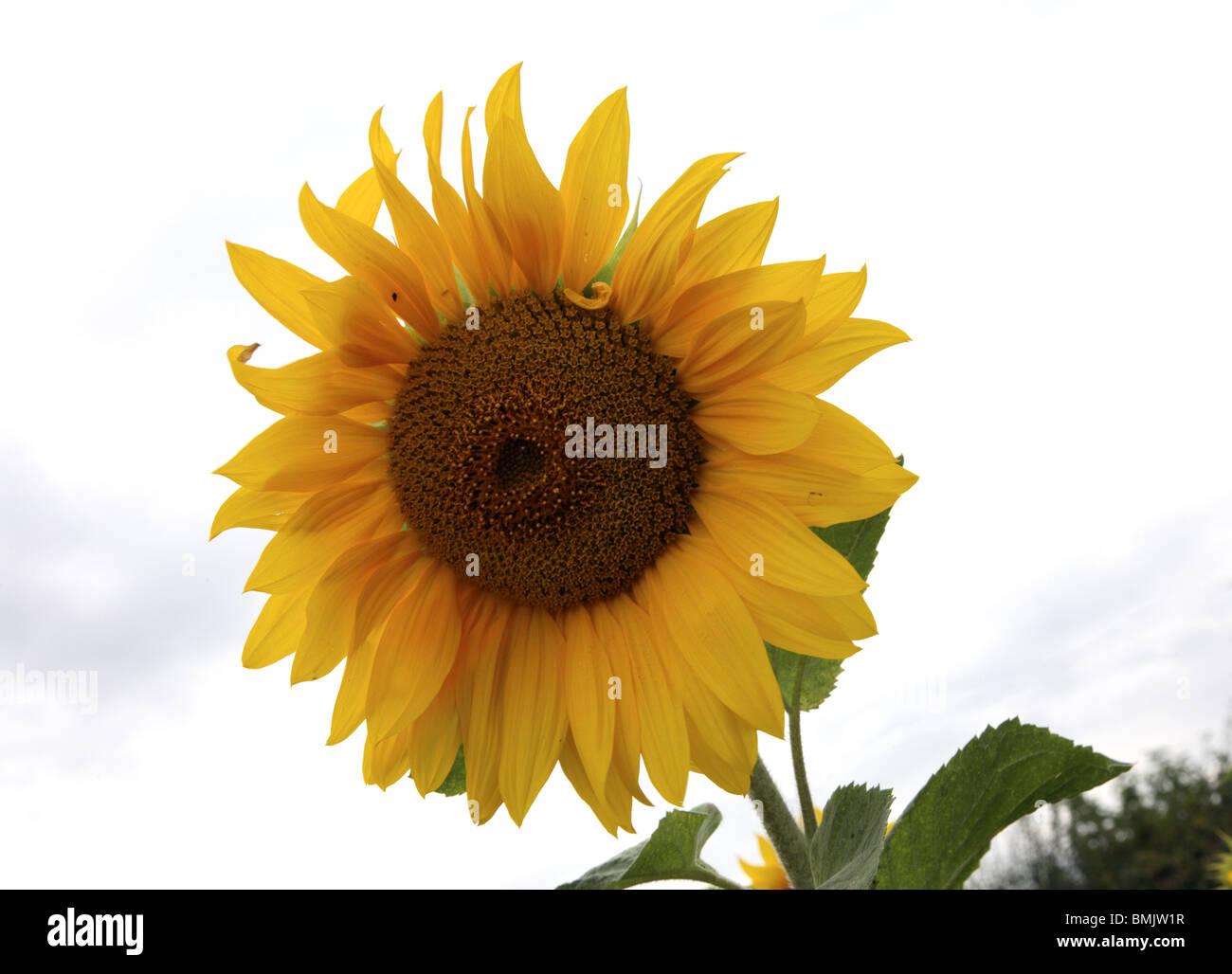 Sunflower. - Stock Image