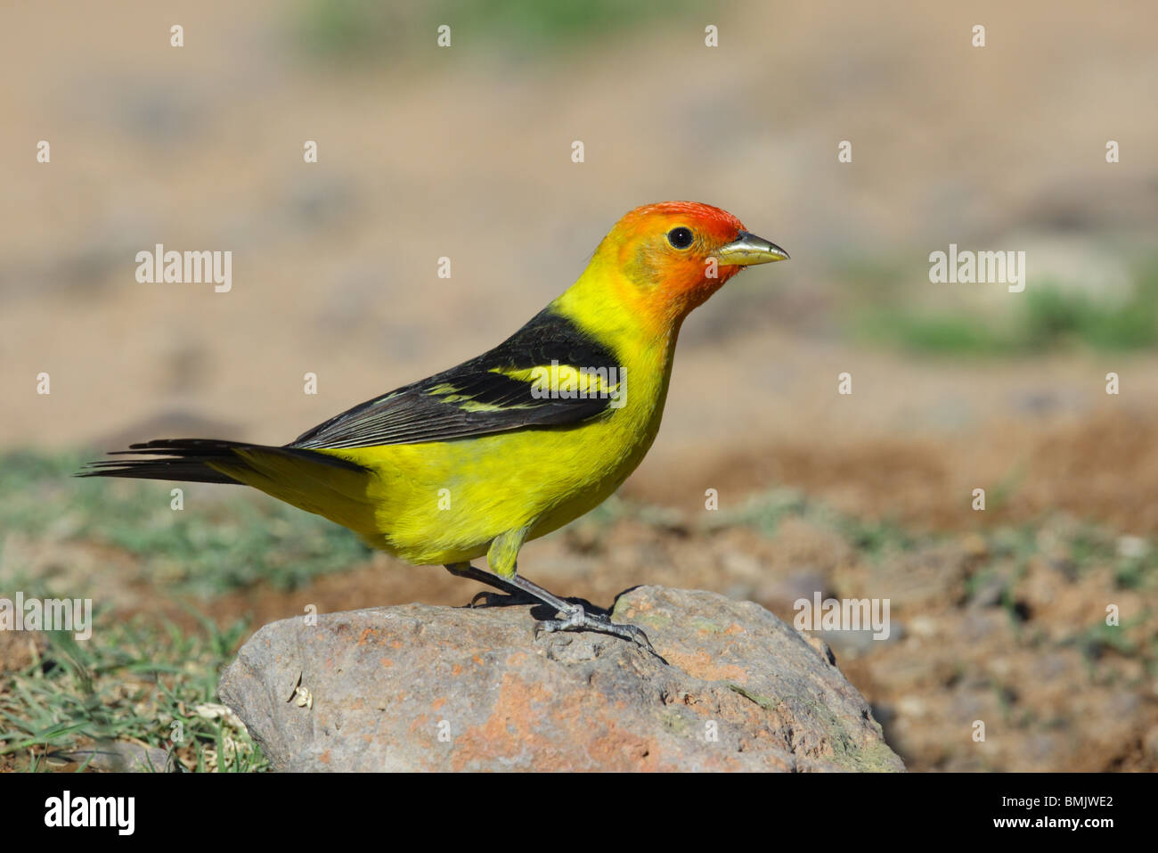 Western Tanager Male - Stock Image