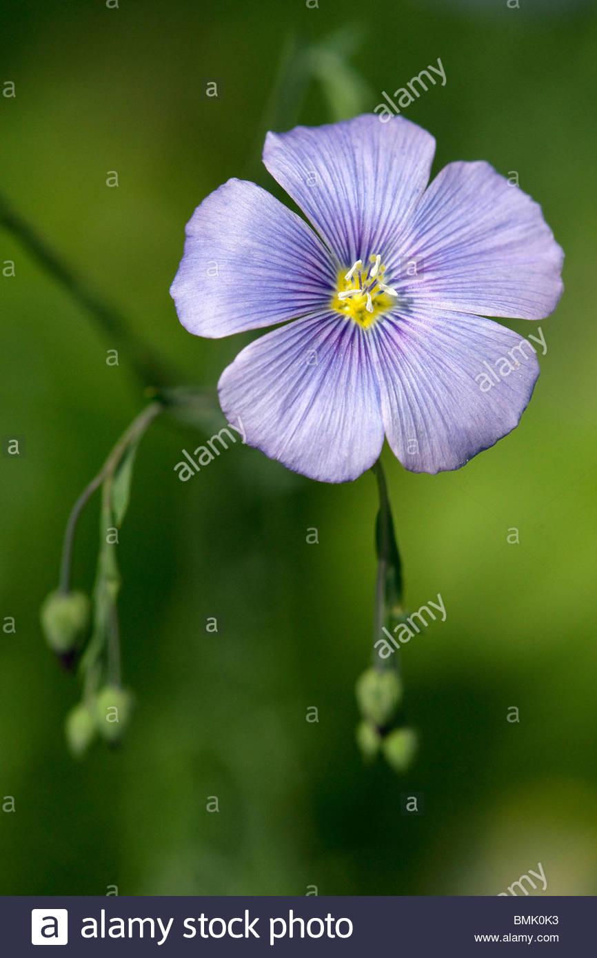 Linum perenne   Perennial Flax or Blue flax   Lin bleu - Stock Image