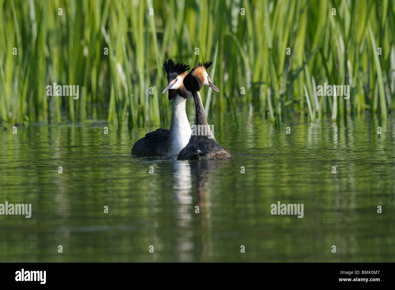 Great Crested Grebe breeding display - Stock Image