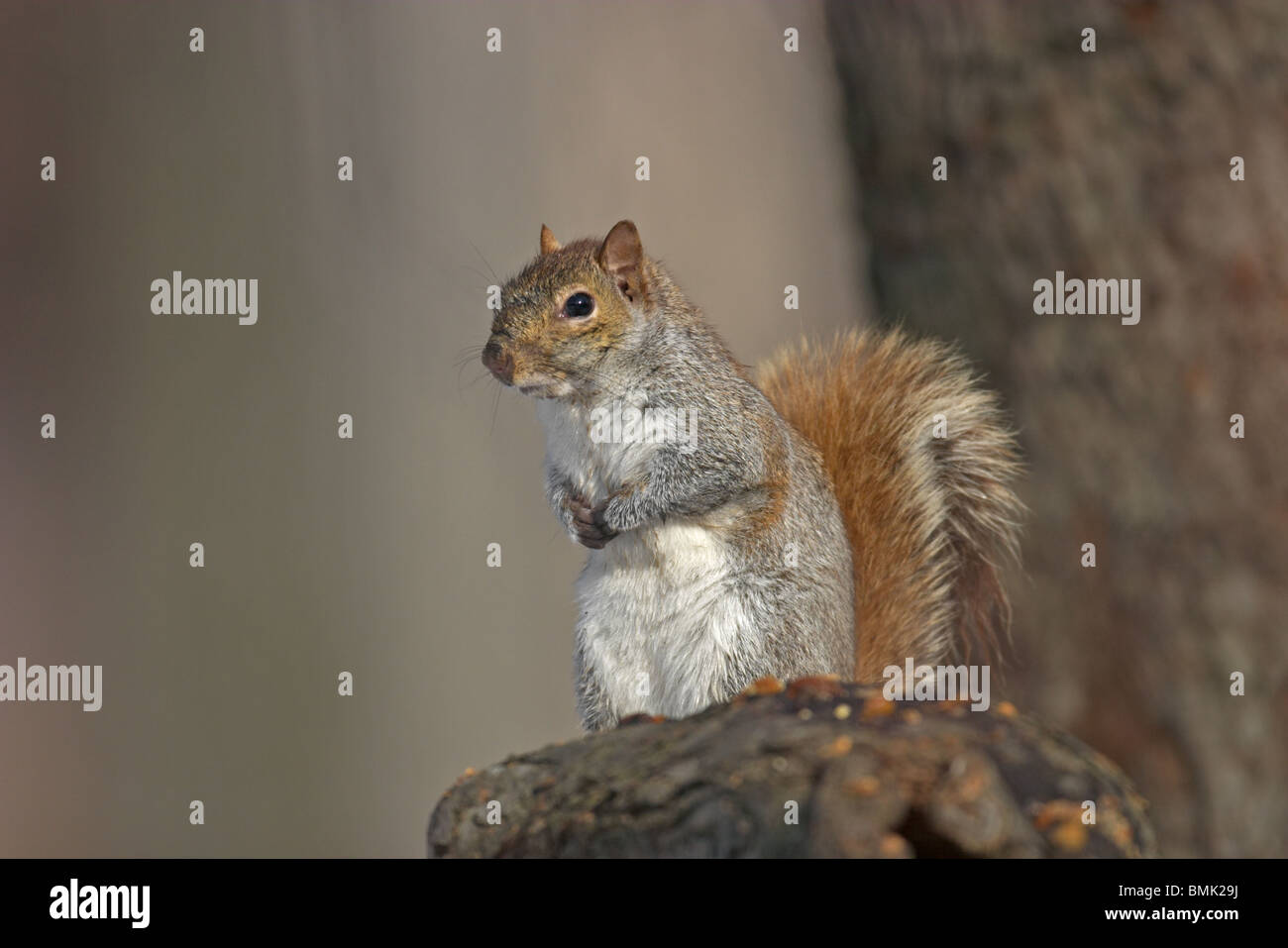 Eastern Gray Squirrel perched in a tree - Stock Image
