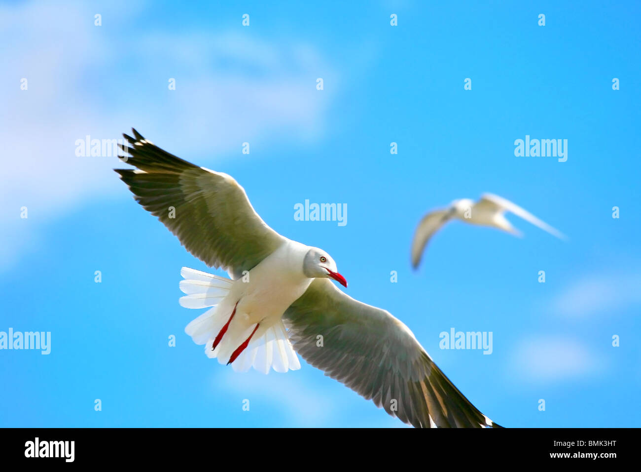 seagull, flying up in the blue sky above lake Naivasha. Africa. Kenya - Stock Image