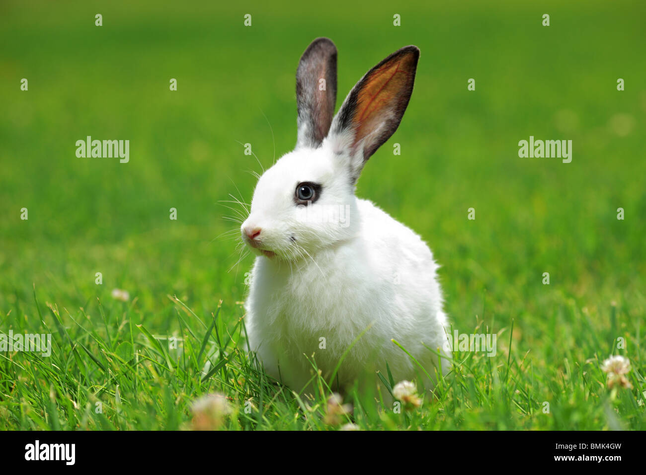 A view of a white rabbit on a green grass - Stock Image
