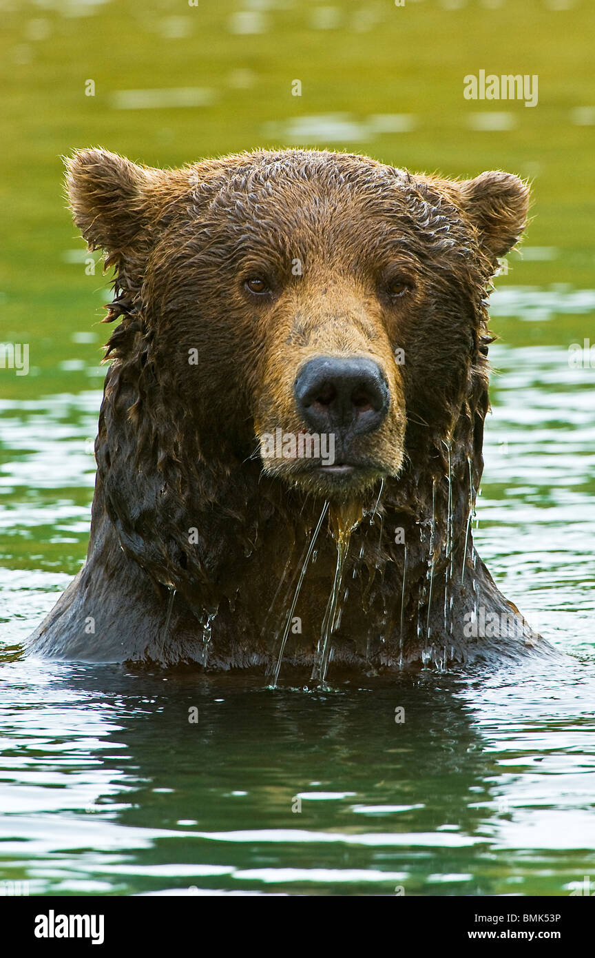 A coastal brown bear emerges from a salmon stream, dripping with water near Geographic Harbor, Katmai National Park, - Stock Image