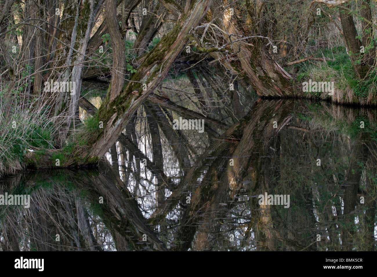A calm creek, willows grown on the river banks and are reflected in the creek. - Stock Image