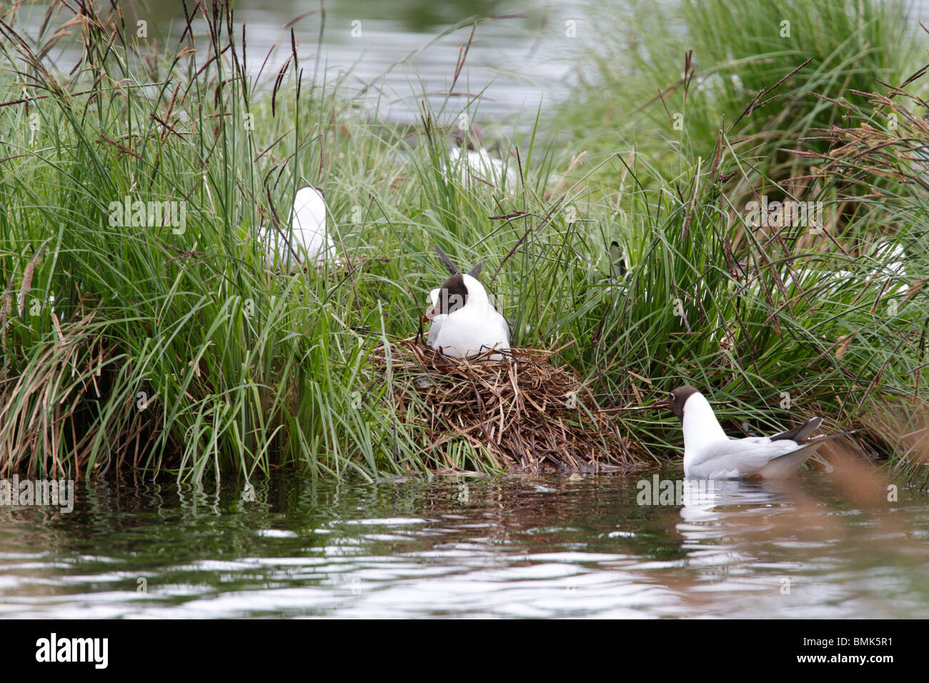 Black-Headed gull at the Grosse Russweiher, Bavaria. This is a breeding colony of gulls. - Stock Image