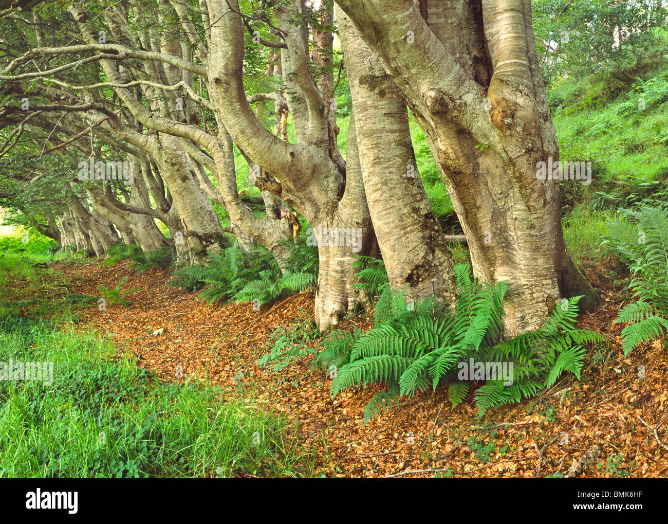 Summer Ferns in a Achmore Woodland - Stock Image