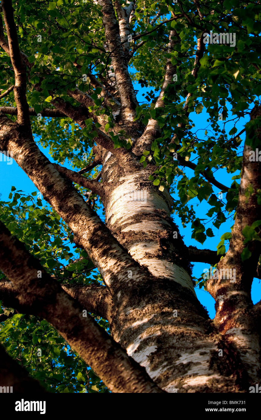 Look up the trunk of a birch - Stock Image