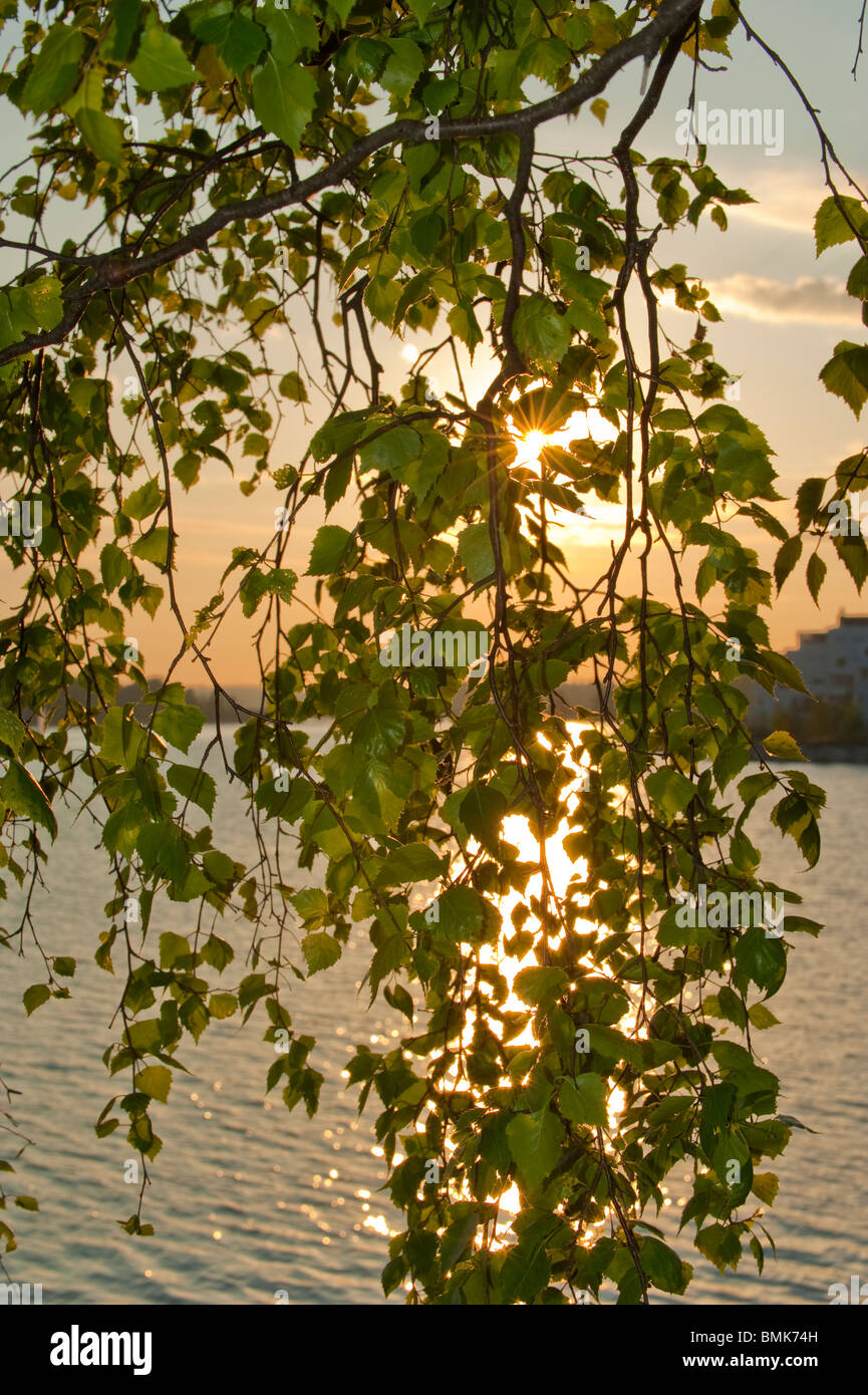 Sun shining through the leaves of a birch during an early summer sunset - Stock Image