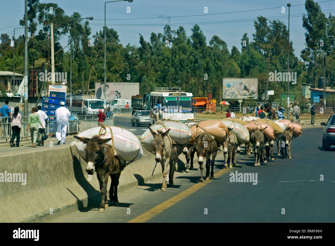 A row of donkeys carrying loads on their backs mix with cars