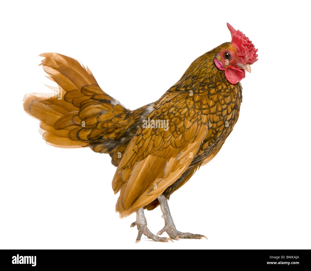 Golden Sebright rooster, 1 year old, standing in front of white background - Stock Image