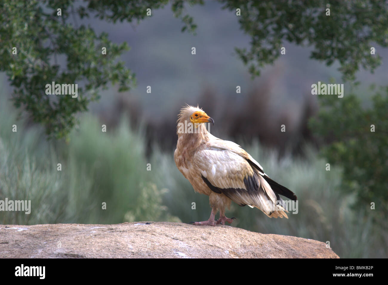 Egyptian vulture (Neophron percnopterus) - Stock Image