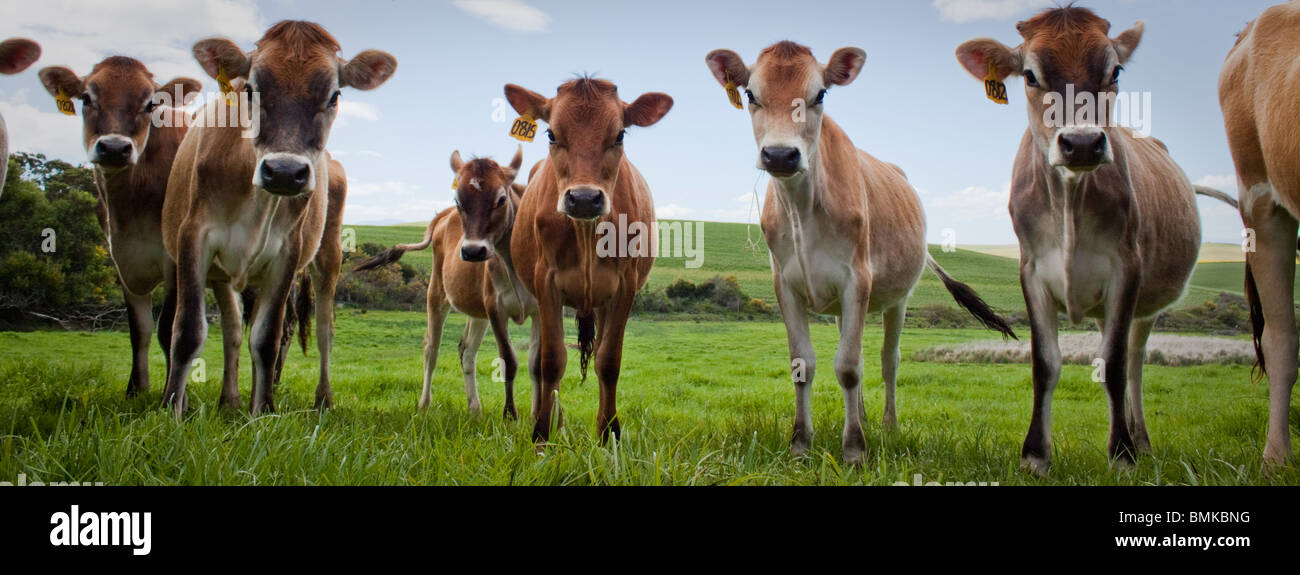 Cows! - Stock Image
