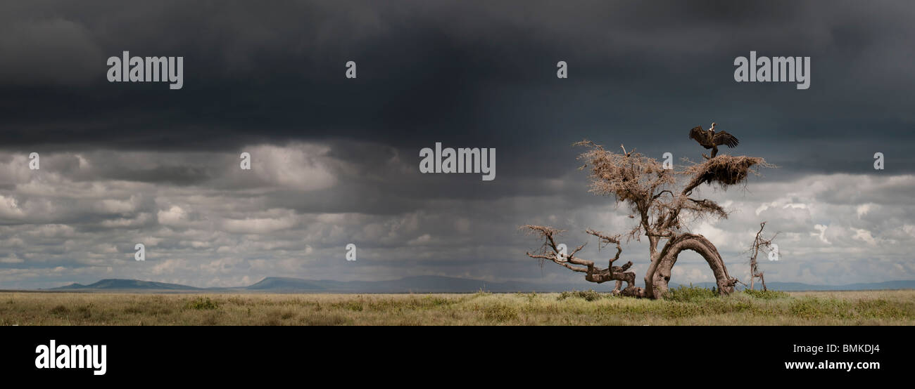 Ruppell's Griffon Vulture drying its wings after a rain storm perched on a knarled tree. Ngorongoro, Serengeti, - Stock Image