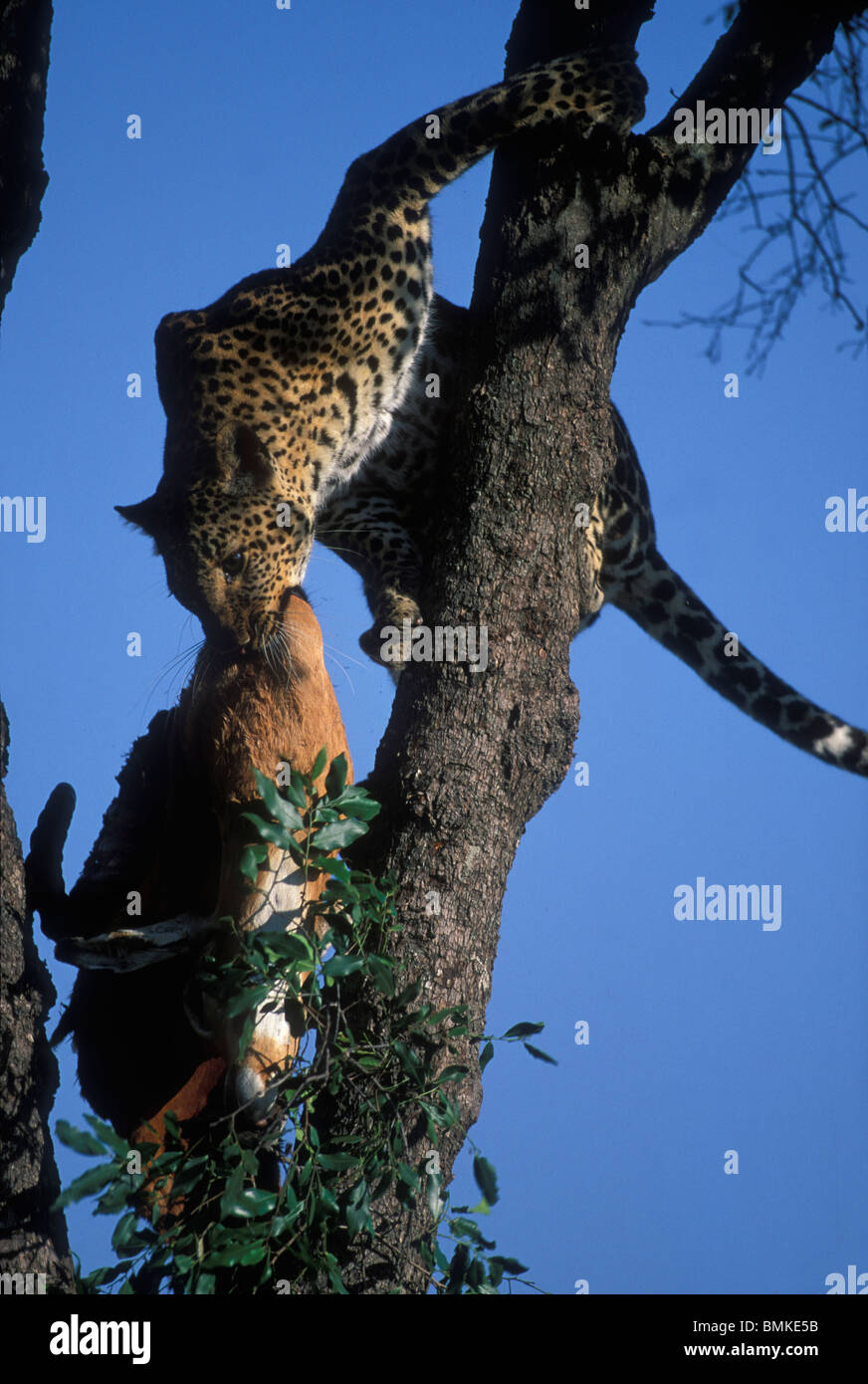 Africa, Kenya, Masai Mara Game Reserve, Adult Female Leopard (Panthera pardus) carries Impala kill down from tree Stock Photo
