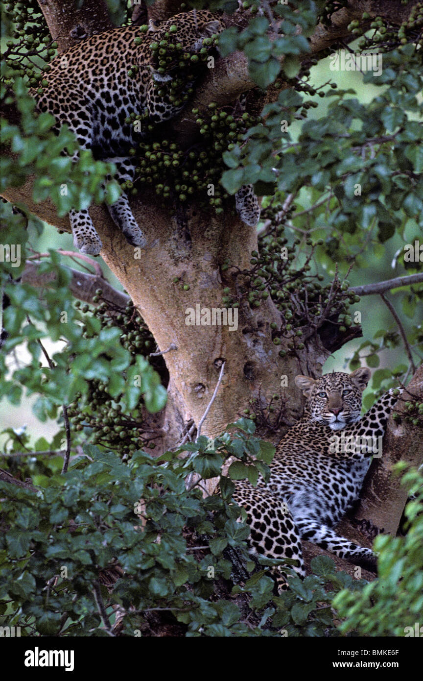 Africa, Kenya, Masai Mara Game Reserve, Adolescent Male Leopard (Panthera pardus) resting with mother in tree branches Stock Photo
