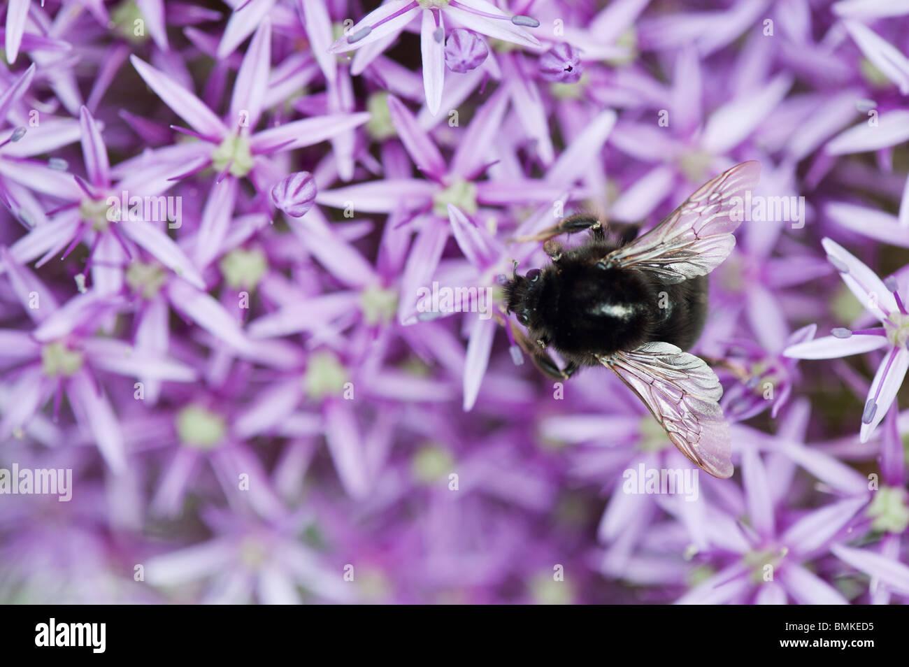 Bumble bee feeding on Allium globemaster flower - Stock Image