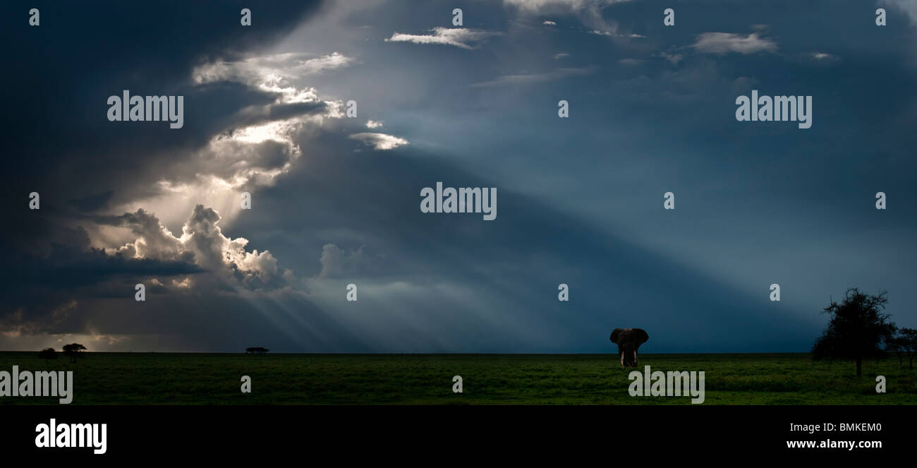 Solitary Bull African Elephant with brooding storm behind. Ngorongoro Conservation Area / Serengeti National Park, - Stock Image