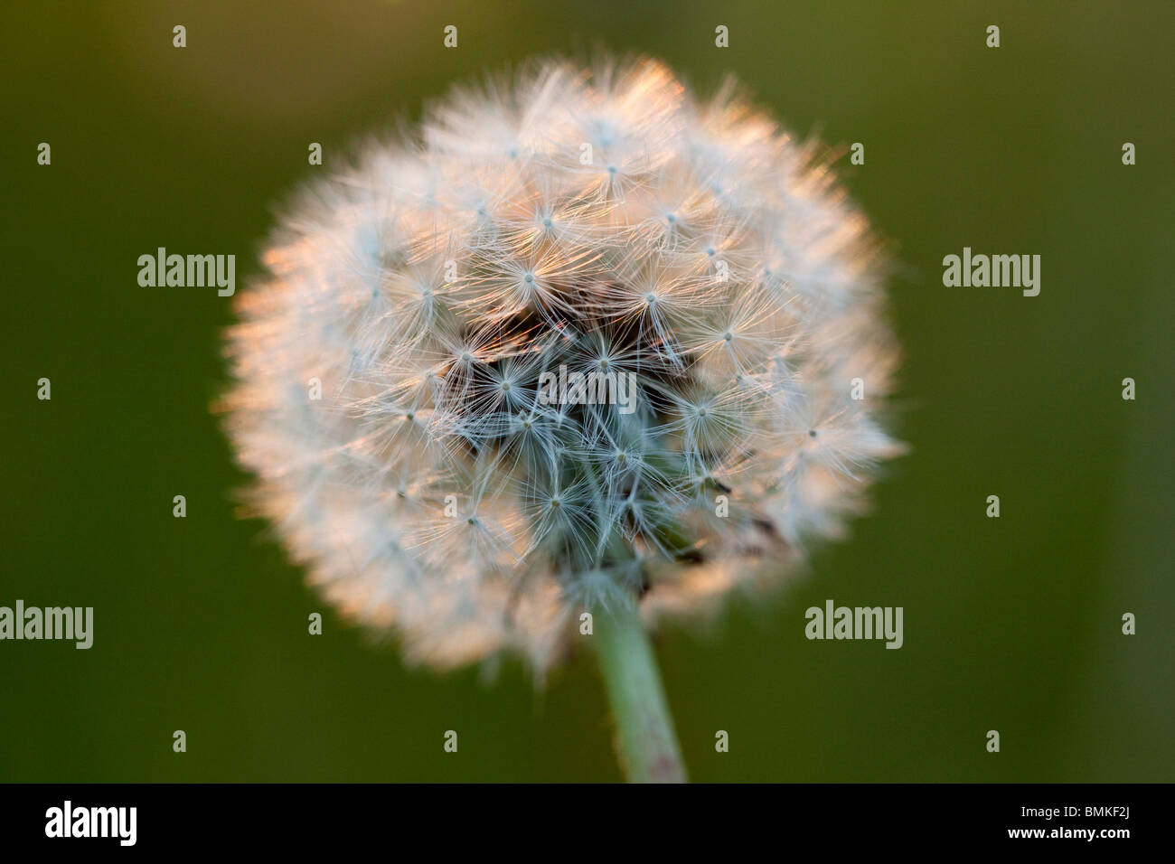 Close up of a dandelion seedhead Stock Photo