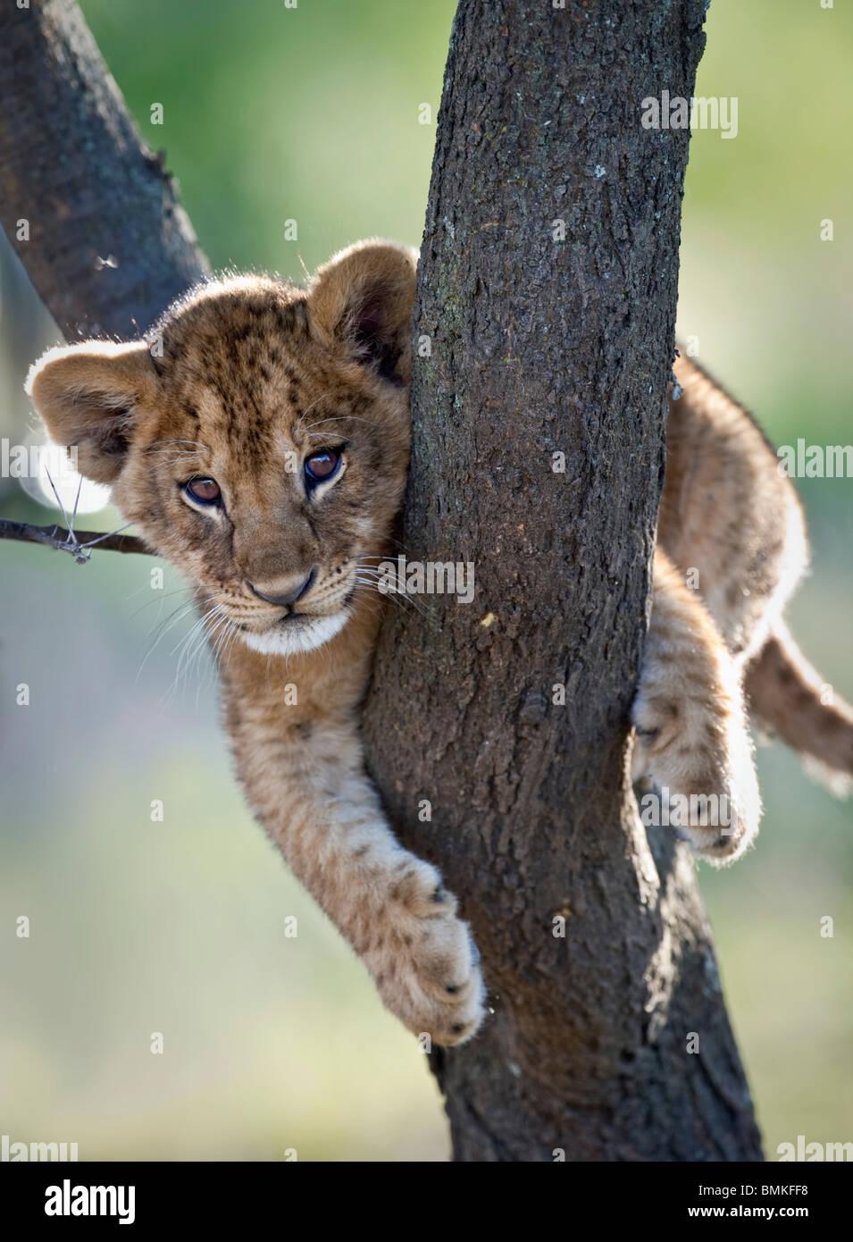 Lion cub about 3 months old, climbing a tree. Near Ndutu, Ngorongoro Conservation Area / Serengeti National Park, - Stock Image