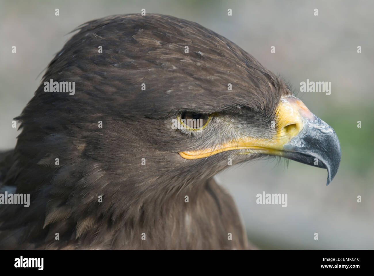 Steppe eagle (Aquila nipalensis) at the Suncar Falcon farm, Alma Ata, Kazakhstan - Stock Image