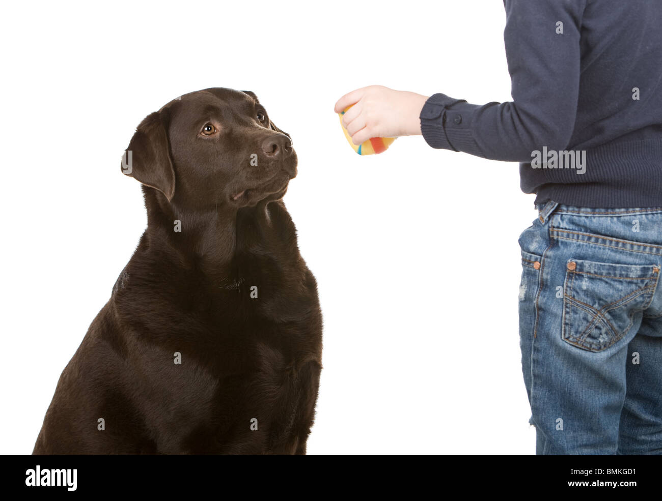 Isolated Shot of a Young Child Training a Chocolate Labrador - Stock Image