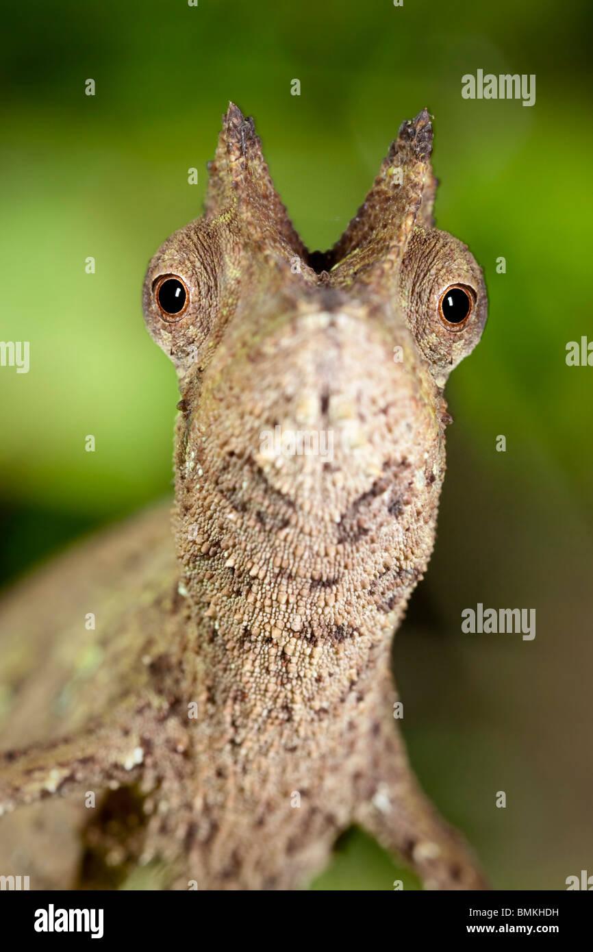 Stump-tailed Leaf Chameleon in rainforest leaf-litter. Masoala National Park, Madagascar. - Stock Image