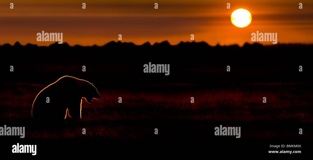 Adult Polar Bear at sunset. On tundra vegetation on shores of Hudson Bay, Canada (late Sept). - Stock Image