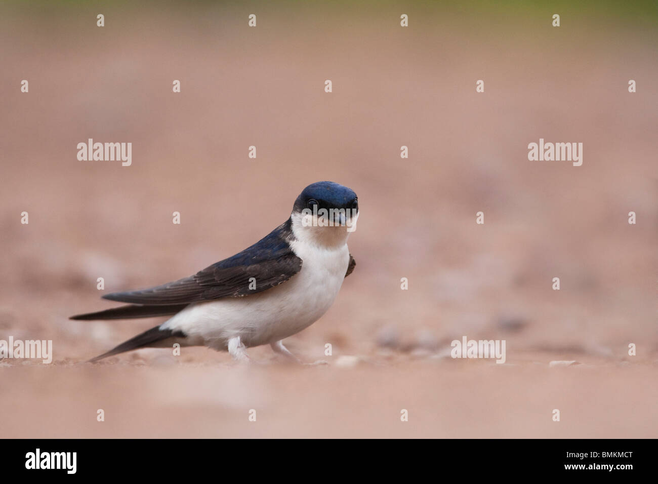 House Martin (Delichon urbica) adult on ground, Norfolk, UK. - Stock Image