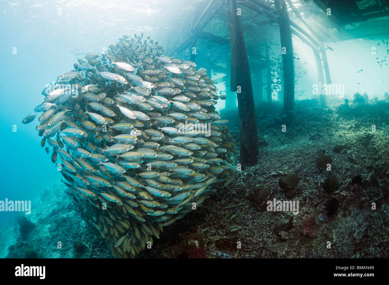 Bigeye scad school with jetty on coral reef.  Misool, Raja Empat, West Papua, Indonesia. - Stock Image