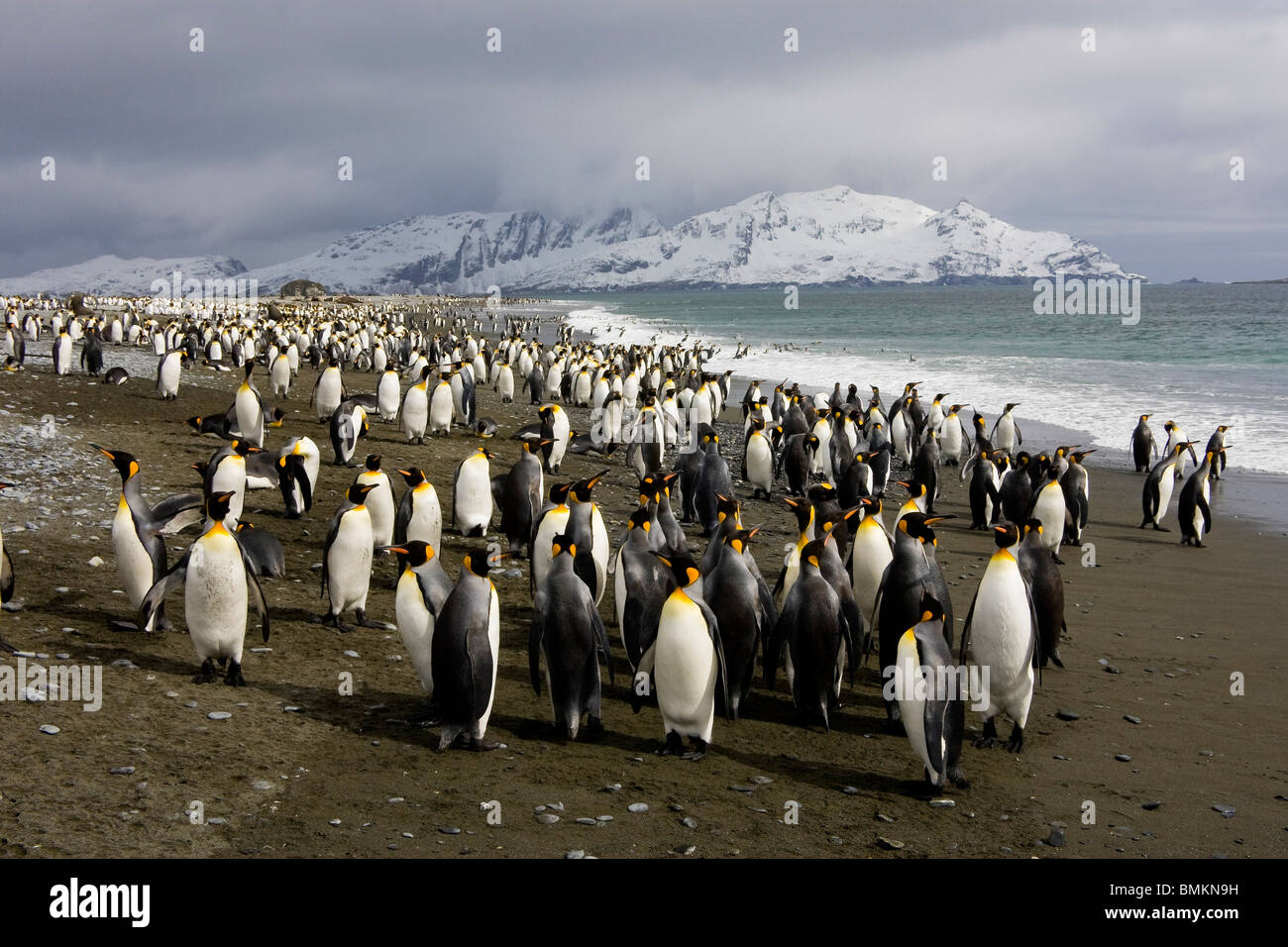 King Penguins on Beach, Salisbury Plain, South Georgia - Stock Image