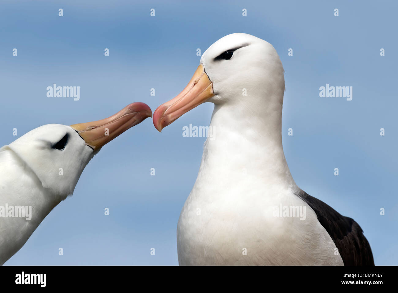 Male and female Black-browed Albatross greeting one another at breeding colony. Saunders Island, Falkland Islands - Stock Image