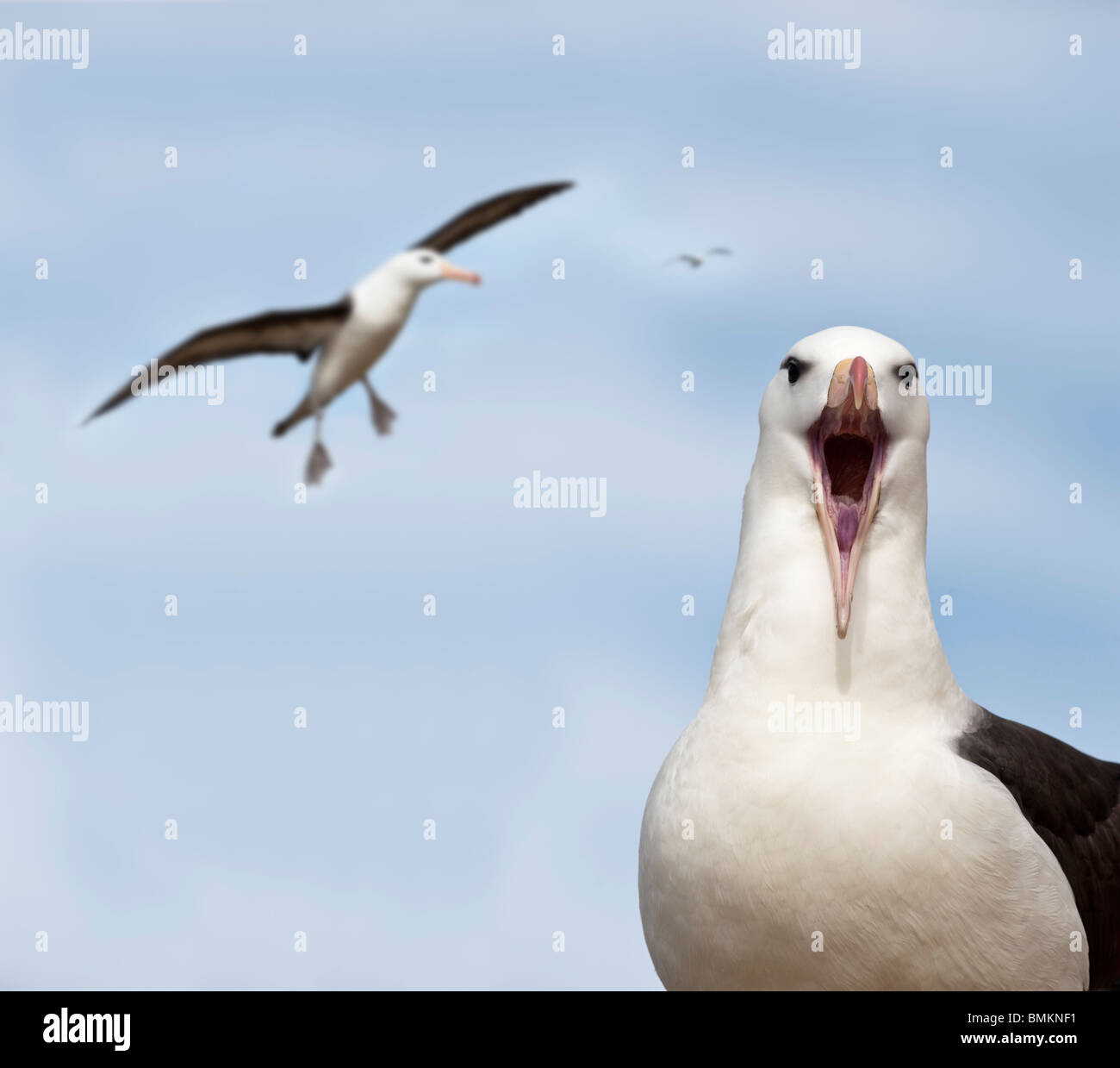 Black-browed Albatross at breeding colony. Saunders Island, Falkland Islands, South Atlantic. - Stock Image