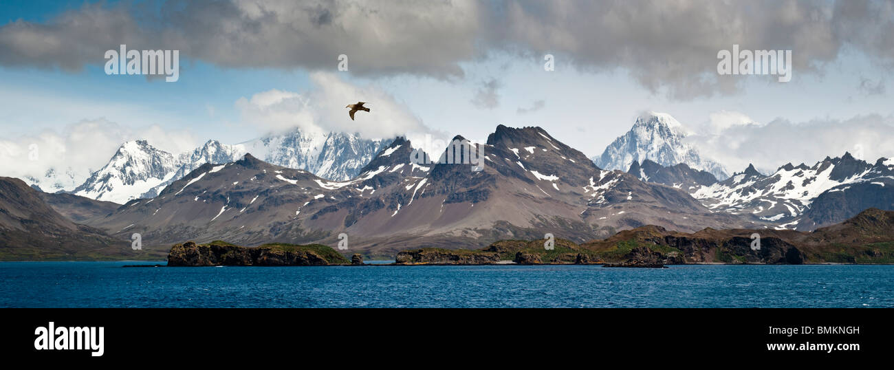 Southern Giant Petrel in flight over the coast of South Georgia, South Atlantic. - Stock Image