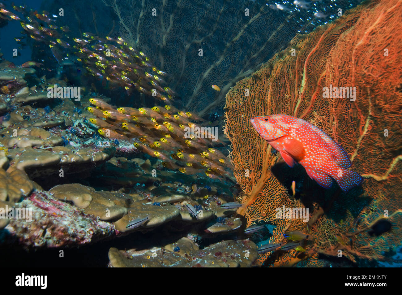 Coral hind with gorgonian, hunting pygmy sweepers on coral reef.  Andaman Sea, Thailand. - Stock Image