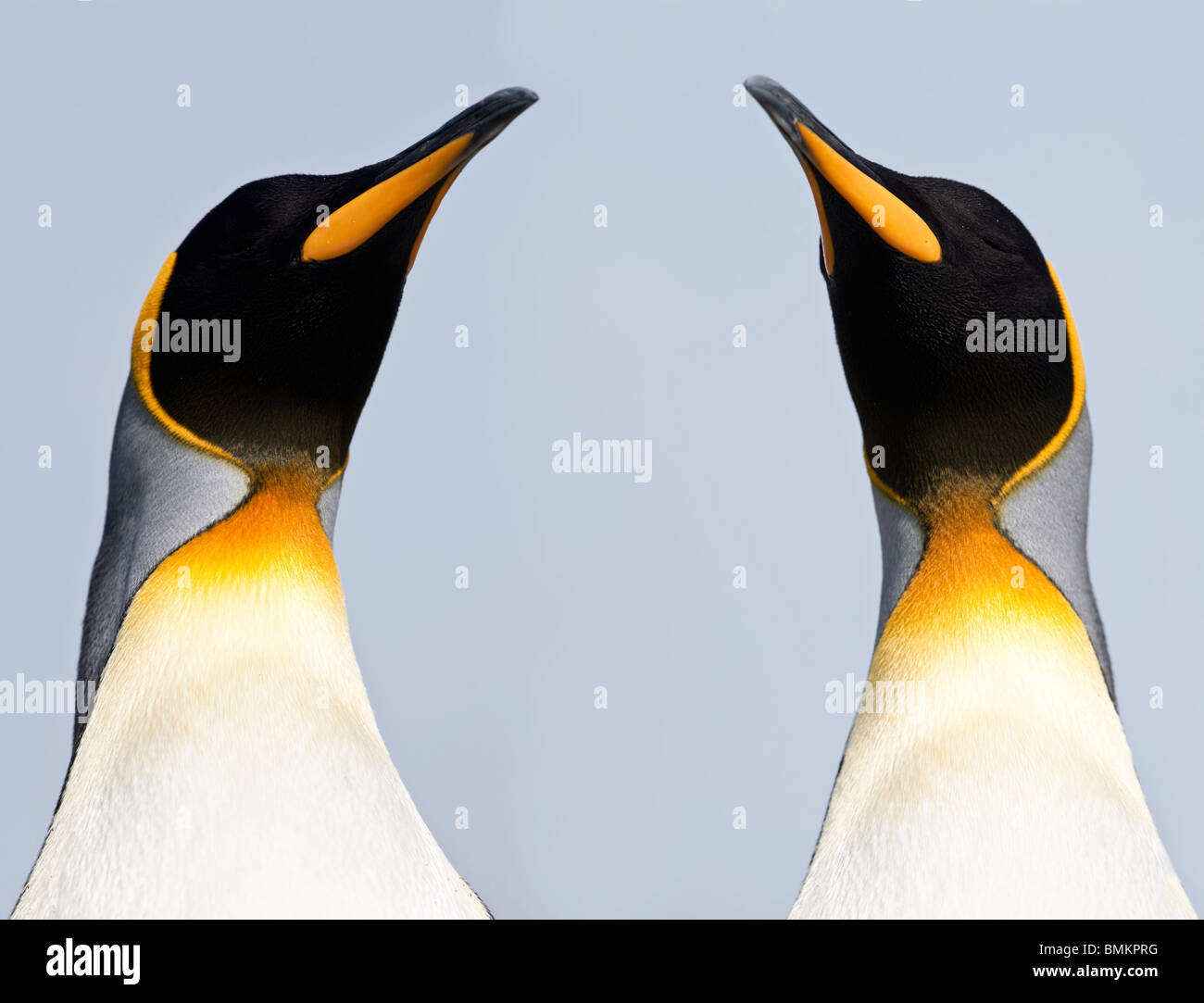 King Penguins. Salisbury Plain, South Georgia. - Stock Image