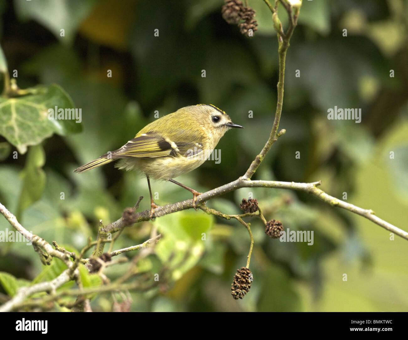 Goldcrest, Regulus, regulus, on a twig  summer  uk - Stock Image