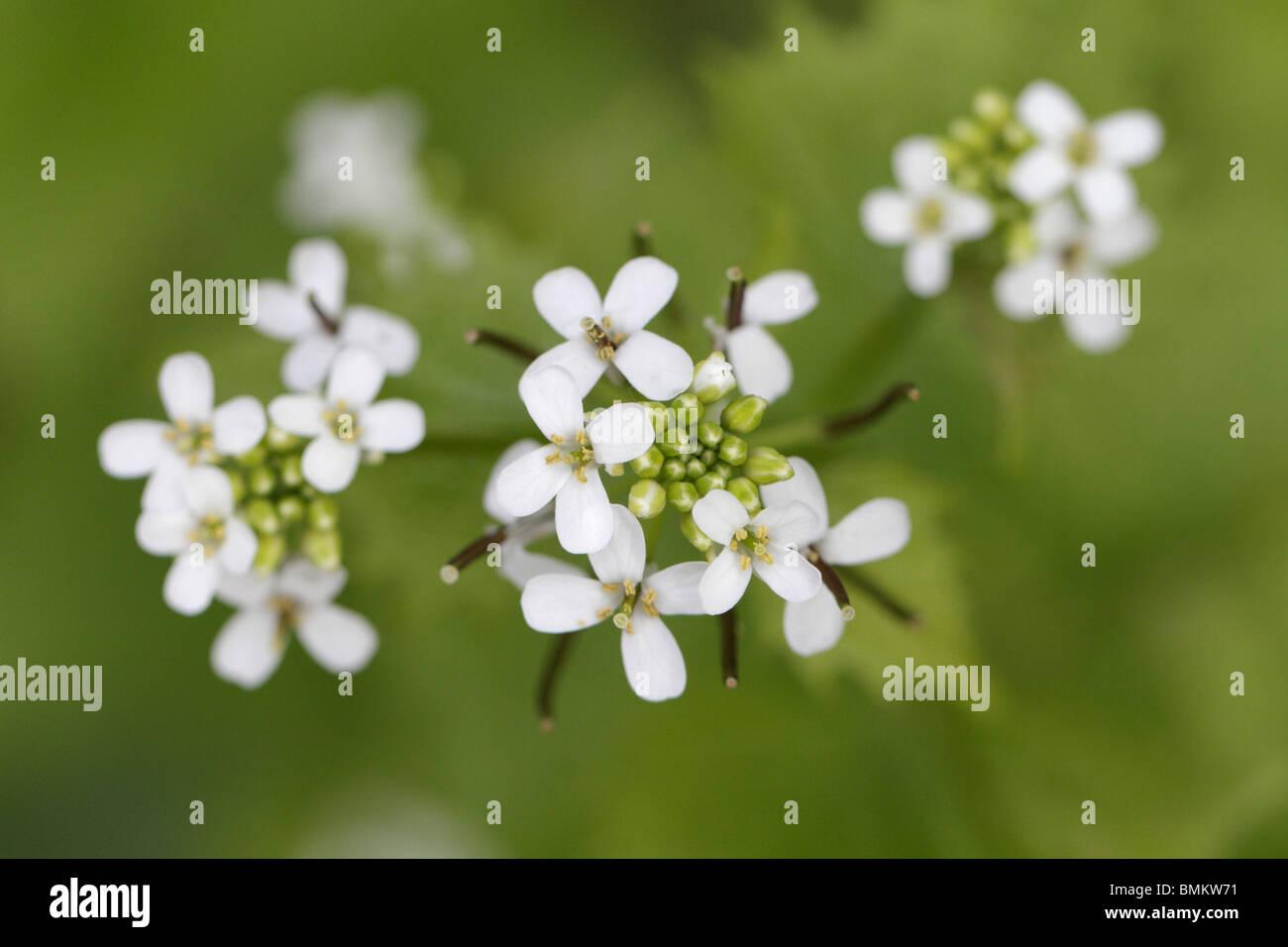 The inflorescence (flowers) of Alliaria petiolata, the Garlic mustard Stock Photo